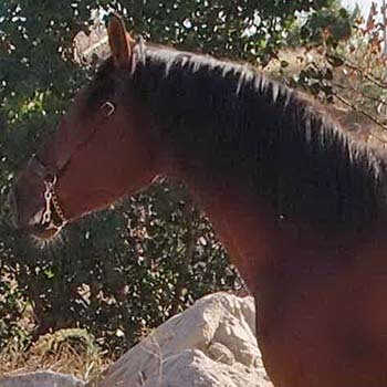 horses-for-sale-Andalusian-PRE-stallions-Dressage-GOLOSO