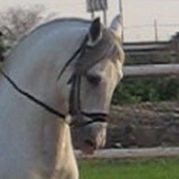 andalusian-horse-for-sale-dressage-zeus
