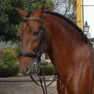 Horses for sale-Andalusian dressage-Julio