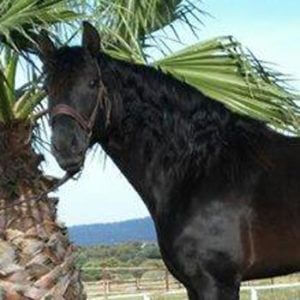 Black andalusian horse for sale-kaiser